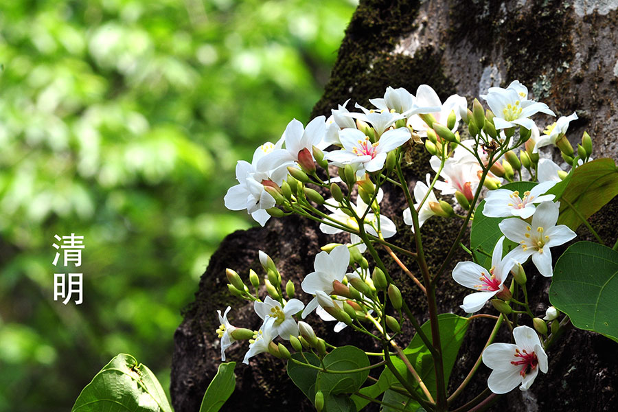 清明節氣之花——白桐花。(蘇玉芬/大紀元)