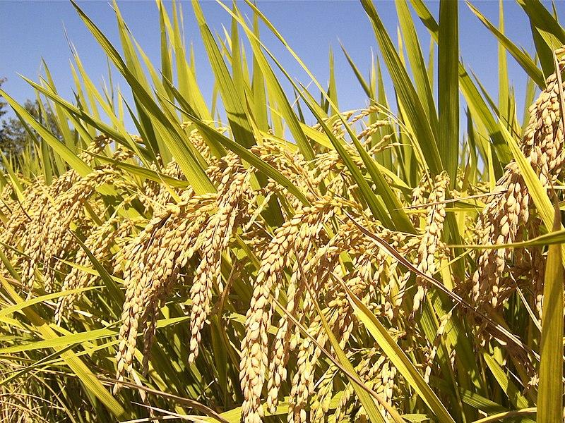 中國學者竊美公司水稻種子 被判逾10年刑期