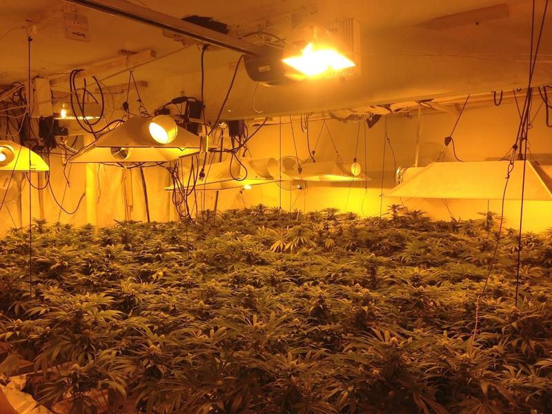 美國北加州查獲100大麻屋 中國黑幫涉案