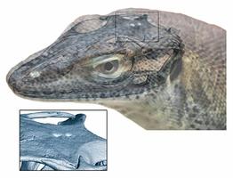 最新研究:松果體可視物  遠古巨蜥有四隻眼