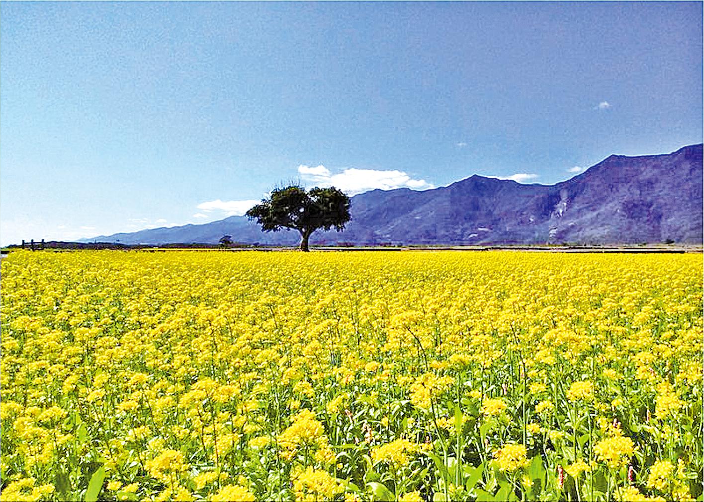 黃澄澄的油菜花海形成農村一道美麗風景線。