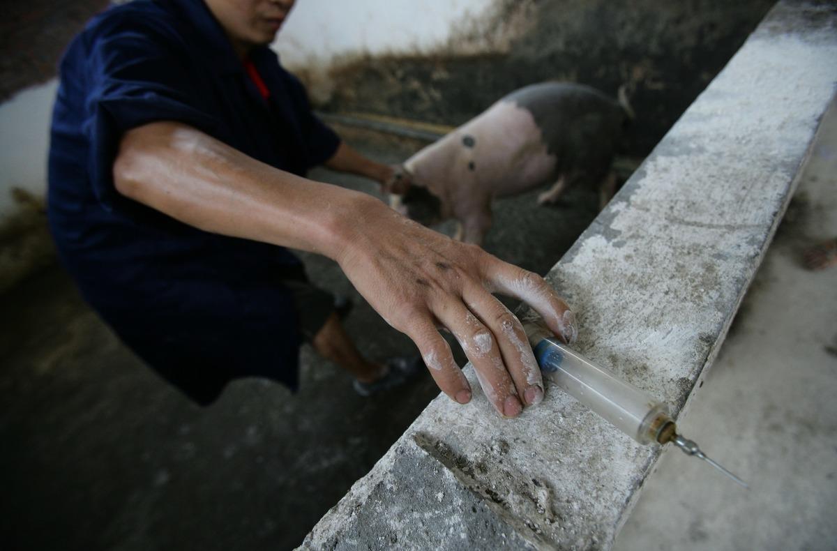 近期發表在《自然》雜誌上的論文稱,對世界上最強抗生素具有抗藥性的mcr-1基因起源於中國的養豬場。(Getty Images)