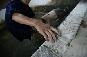 研究證實:抗藥基因源於中國養豬場