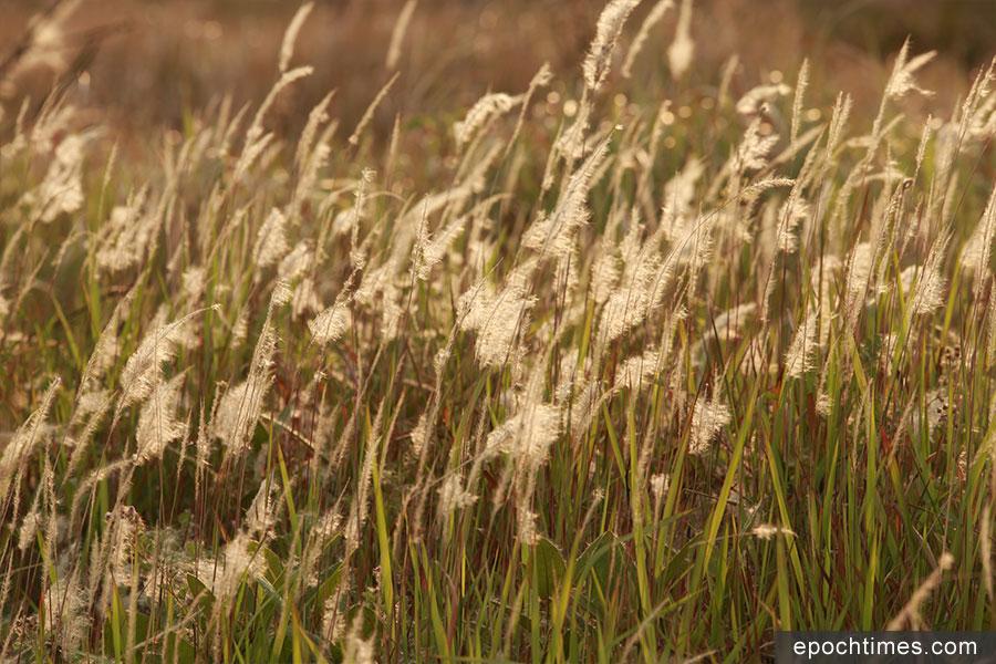 每逢三至四月,正是大白茅盛放的季節,坪洋村村後草地大白茅草處處盛開,引來不少遊人前來「打卡」、拍照。(陳仲明/大紀元)