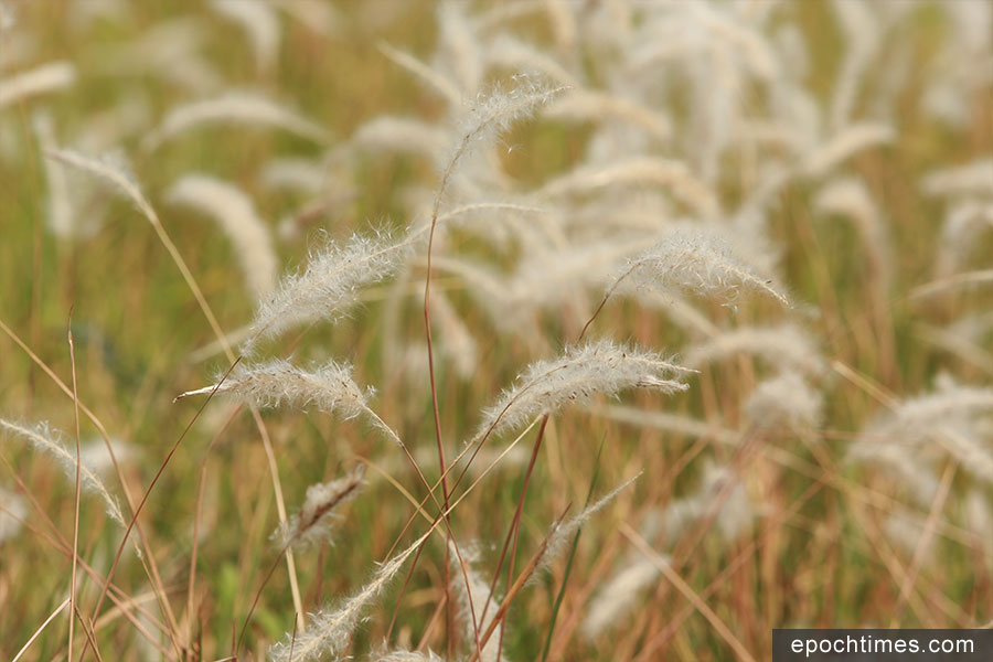 每逢三至四月,正是大白茅盛放的季節。圖為上水屠房一帶盛開的大白茅。(陳仲明/大紀元)