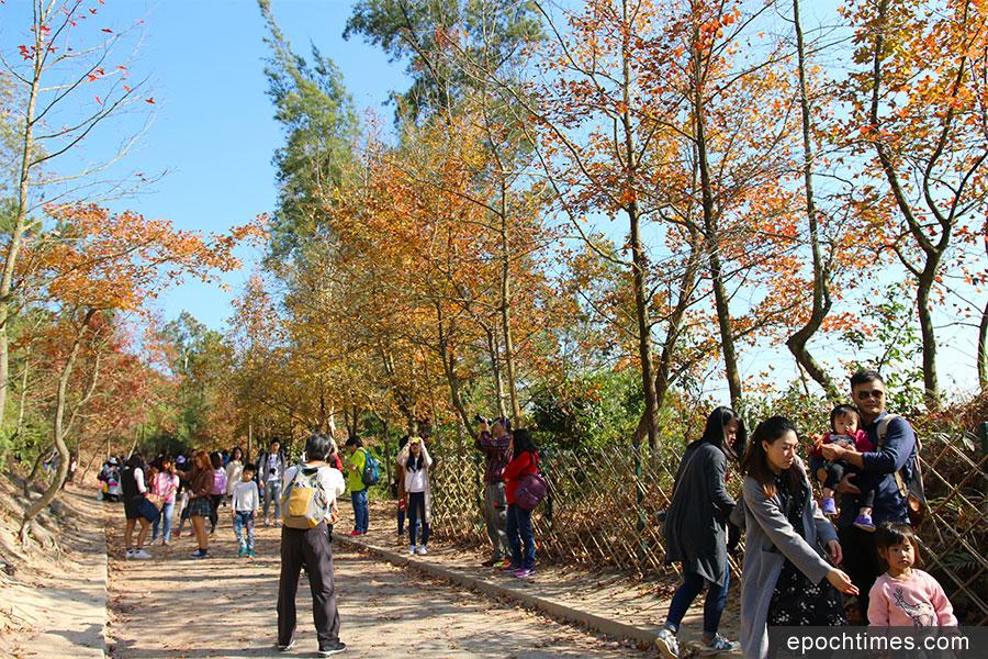 每逢秋冬,元朗大棠楓香林紅葉處處,近年已成為大眾賞紅葉的熱門之選,遊人絡繹而至。(陳仲明/大紀元)