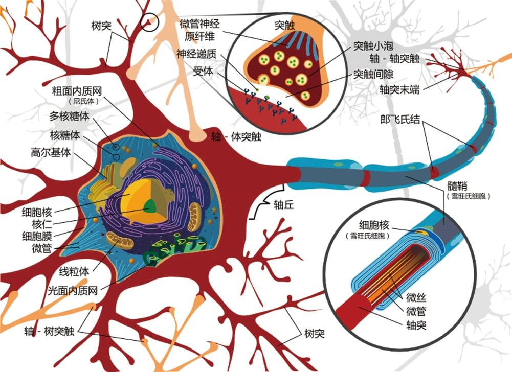 新研究發現,即使身處晚年,人的大腦神經元依舊能夠再生,直至死亡的那一刻。(維基百科)