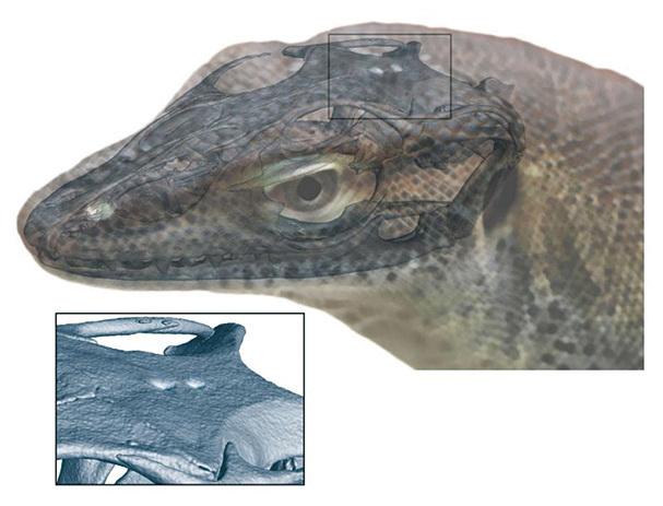 通過研究一塊4,900萬年前的蜥蜴化石,科學家驚訝的發現史前的蜥蜴長了四隻眼睛。(Digimorph.org)