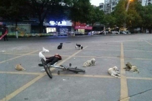 5月14日凌晨4時,江西工程學院附近一位騎自行車的老婦人突然倒地猝死。網民在微博發貼稱,「救護車和公安來了,搶救無效就直接走了」,未有處理死者遺體。但老婦生前收養的8隻流浪狗卻一直守護在遺體周圍,不肯離去。(網絡圖片)
