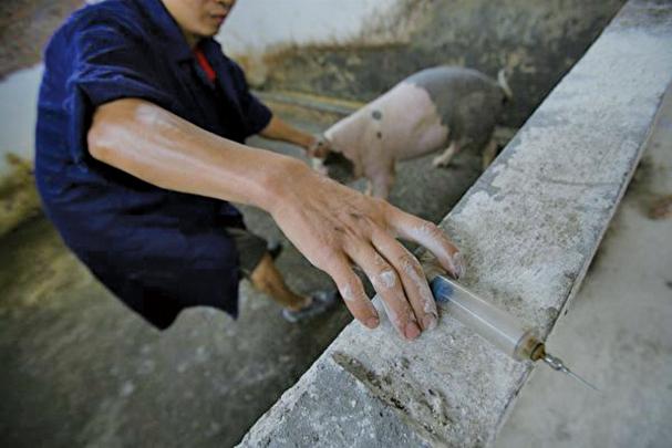 近期發表在《Nature》雜誌上的論文稱,對世界上最強抗生素具有抗藥性的mcr-1基因起源於中國的養豬場。(Getty Images)