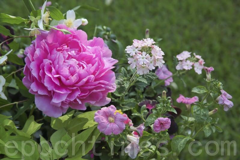 穀雨前後也是牡丹花開的重要時段,因此,牡丹花也被稱為「穀雨花」。「穀雨三朝看牡丹」,賞牡丹成為人們閒暇重要的娛樂活動。(Fotolia)