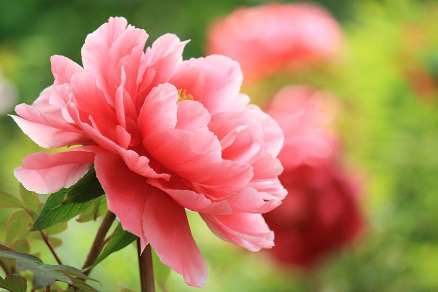 牡丹花又名穀雨花,兼有色、香、韻、葉之美。(Fotolia)