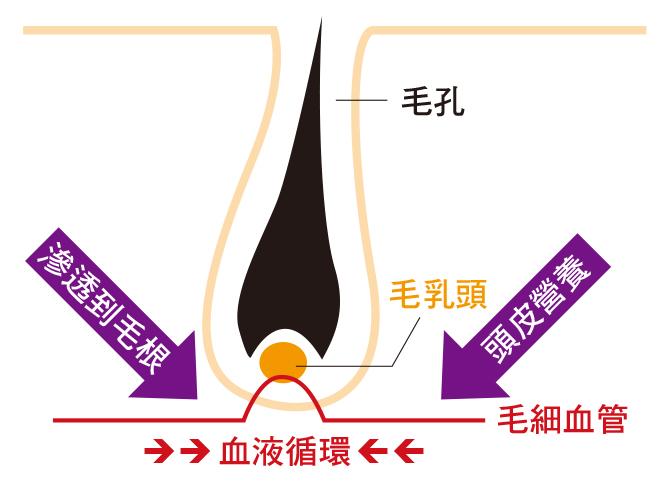 沙漠人蔘 透過 1.促進血液循環,將營養帶到毛乳頭,促進毛乳頭的活化2.強化身體免疫系統,抵抗外因造成的脫髮現象,以達到預防脫髮的效果。
