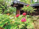 日本東京新宿區藥王院源自遣唐史高僧傳來大唐文化,院中滿栽牡丹花有聲名。(容乃加/大紀元)