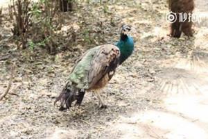 揚州動物園孔雀遭遊客拔毛