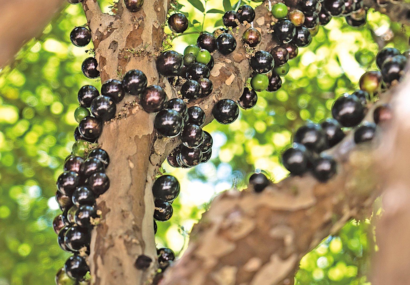 嘉寶果又叫巴西葡萄樹,特別的是這些果子是直接從樹幹上長出來的。