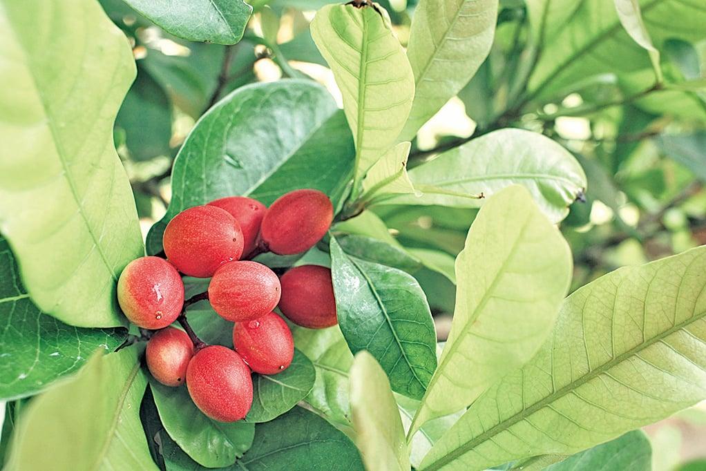 神秘果原產於非洲西岸,味甜微帶點酸。