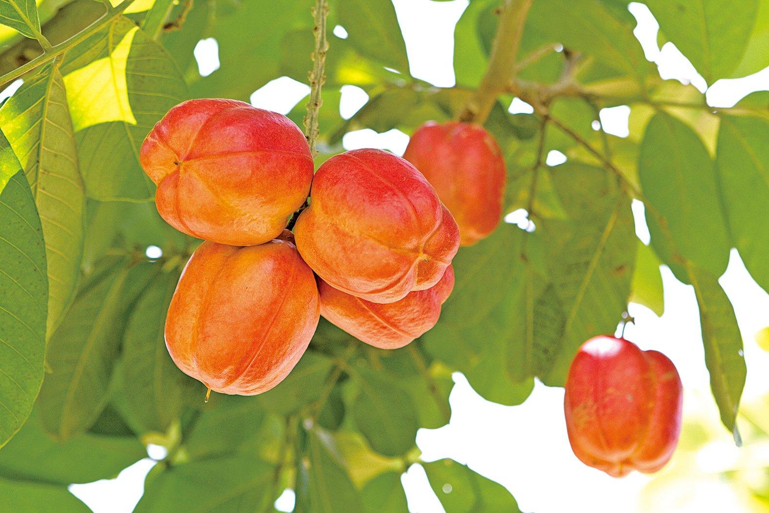 西非荔枝果為無患子屬,是龍眼、荔枝的親戚。