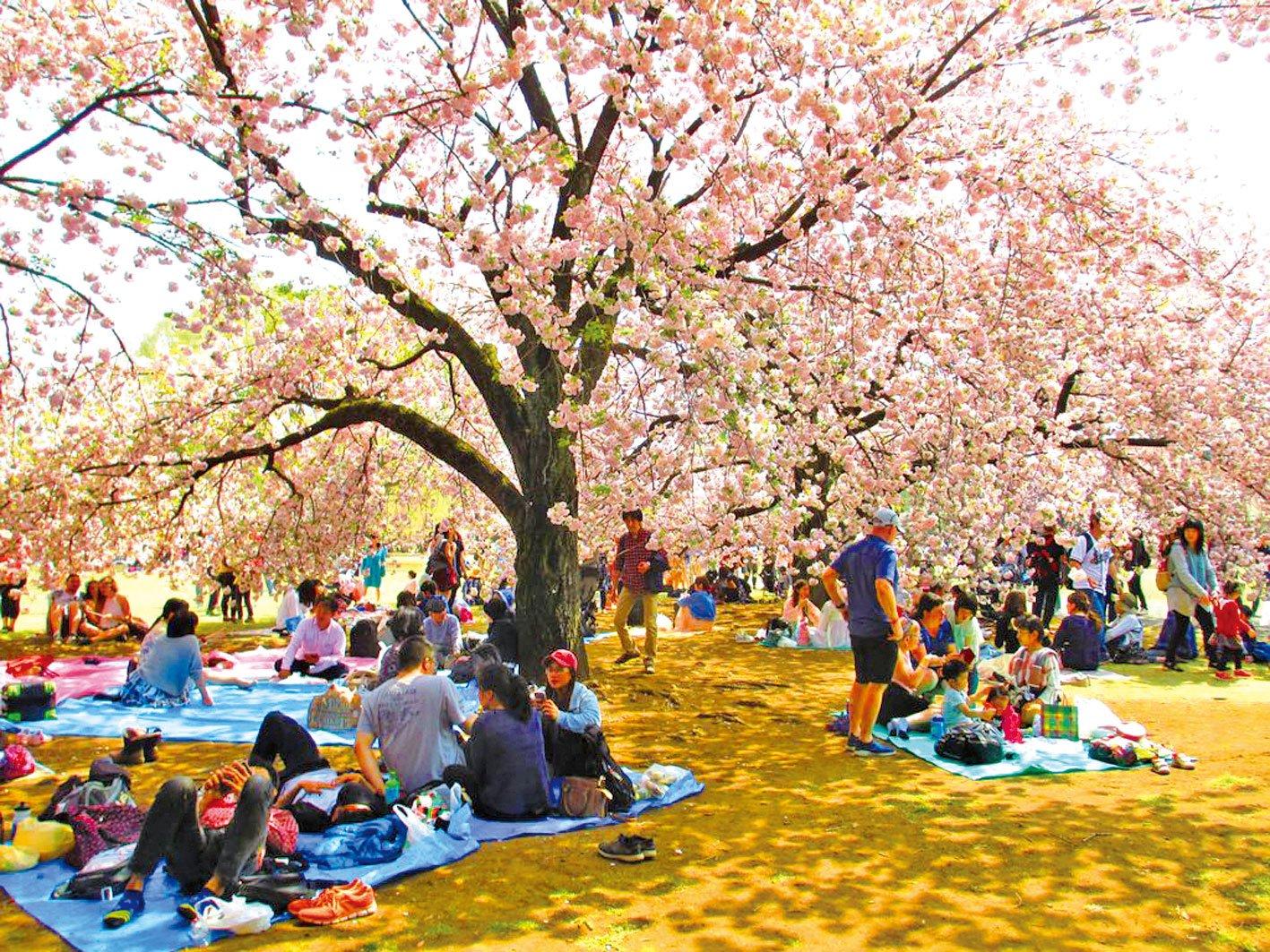 櫻花樹下花客雲集。