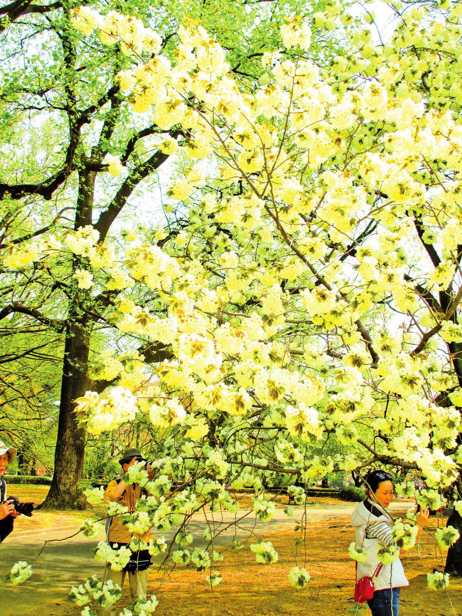 不同於傳統的粉紅色,鬱金櫻嫩黃中映著微綠。