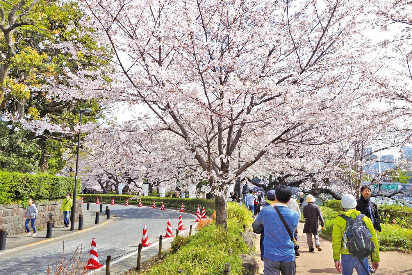 櫻花步道,美不勝收。 (陳正洪/大紀元)