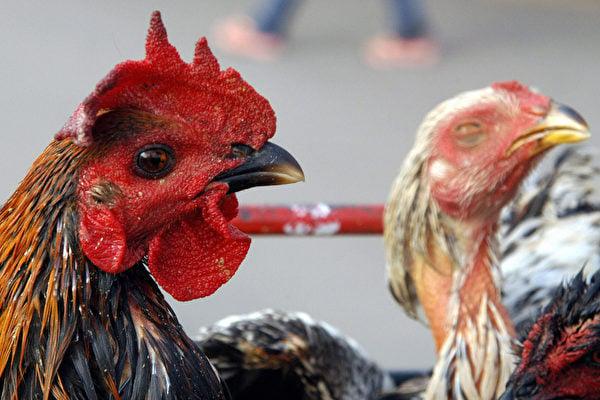 大陸是禽流感高發地。(AFP/Getty Images)