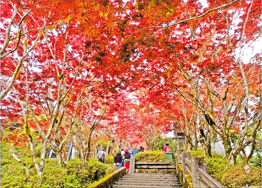 太平山賞紫葉槭 槭紅疑似秋卻是春光明媚時