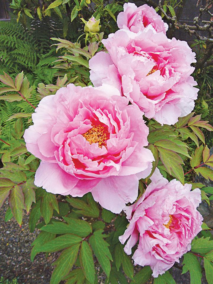 粉色牡丹 (663highland/Wikimedia Com-mons CC BY-2.5)
