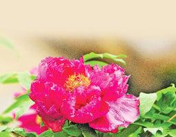 為何牡丹自古有國色天香的美稱