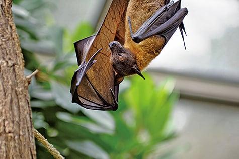 尼帕病毒是一種新出現的致命病毒。可能是由蝙蝠傳播到人類及其它物種。(Pixabay)
