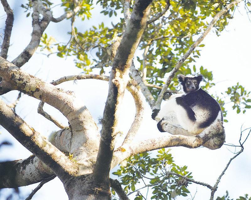 馬達加斯加遊記(三)瀕危狐猴的山谷回音