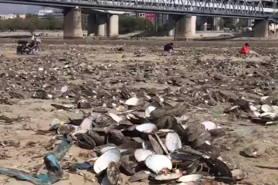 濱洲鐵路橋下,露出的河床形成小島,遍布河蚌。(視像擷圖)