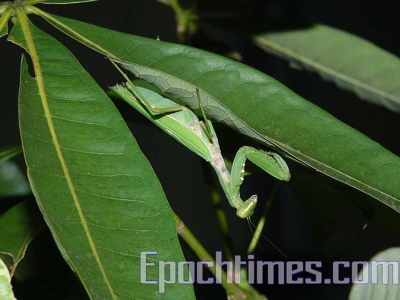 芒種時節,螳螂在上一年深秋產的卵育成的小螳螂破殼而出。(大紀元資料室)