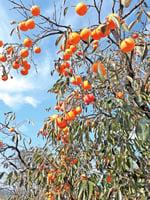 【綠色東方優質生活專刊】 韓完州柿子醋果汁  排毒減肥兼抗三高