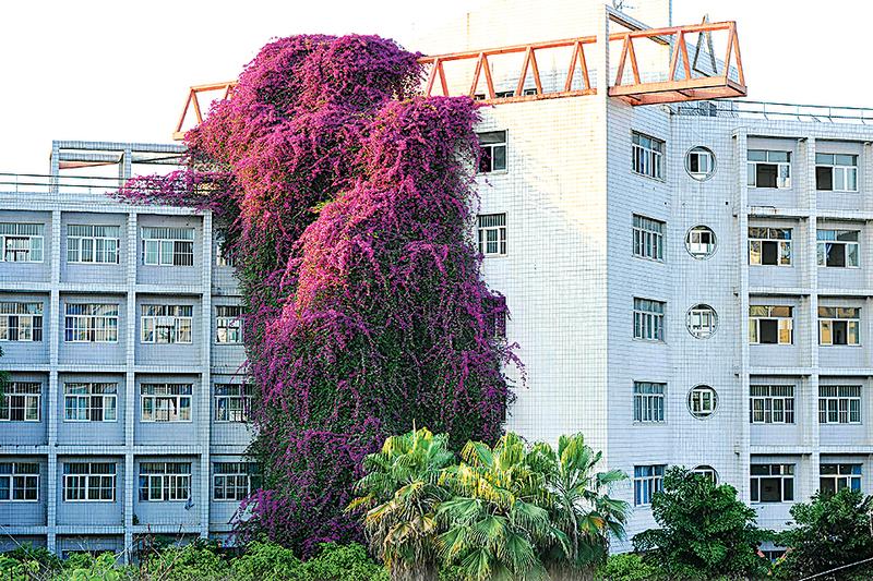 【圖片新聞】20米高巨型三角梅如「鮮花瀑布」