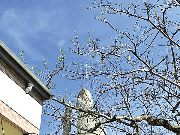 經過救治後,鳳凰木開始吐出點點綠芽,活了過來。(林俊寬提供)