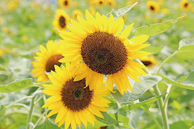「溫暖、和平、溫馨」,信哥稱這是向日葵的花語,盼每一位到訪者,都能感受到這份熱情。(陳仲明/大紀元)