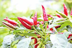 研究 紅辣椒有益健康長壽 減少心腦疾病
