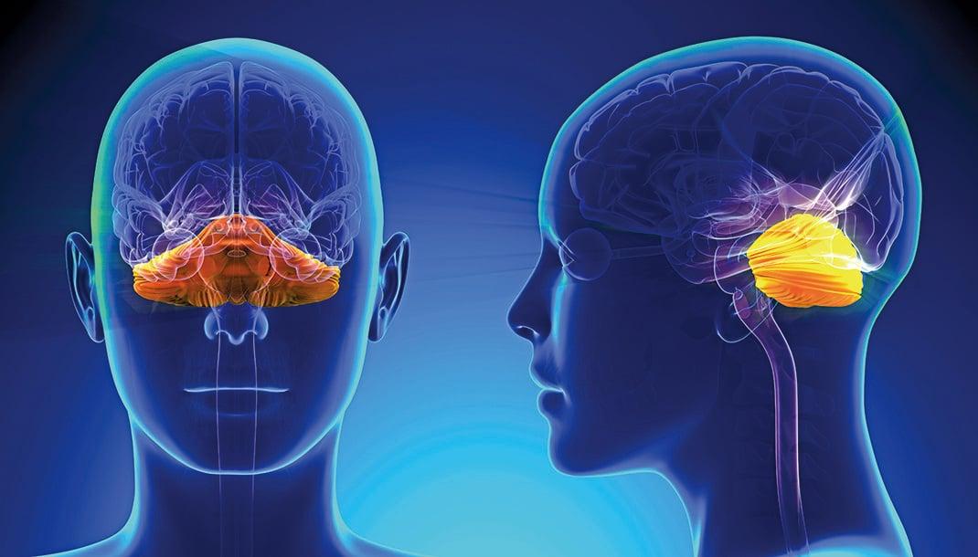 小腦僅佔人腦總體積約十分之一,卻囊括了腦部一多半的神經元。(ShutterStock)