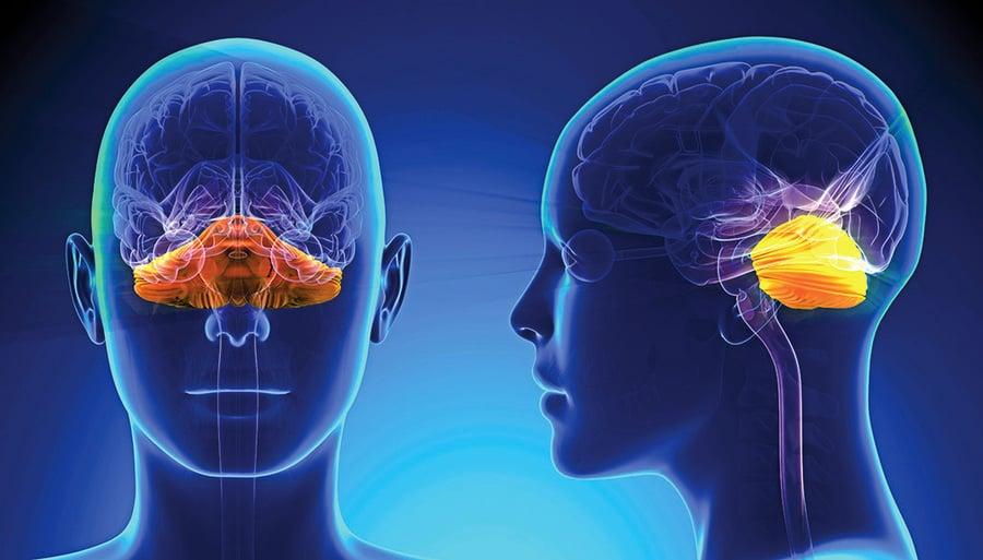 神經科學家發現小腦新功能