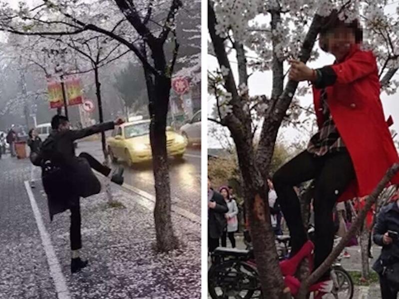 圖為江蘇南京現不文明遊客,為製造「櫻花雨」不惜腳踹櫻花樹;更有大媽強行爬上櫻花樹拍照,讓不少惜花網民心痛不已,狠批遊人不文明。(網絡圖片)