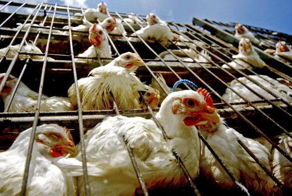 青海省一家養殖場爆發高病原性H5N1禽流感疫情,已有1050隻肉雞死亡。(Getty Images)