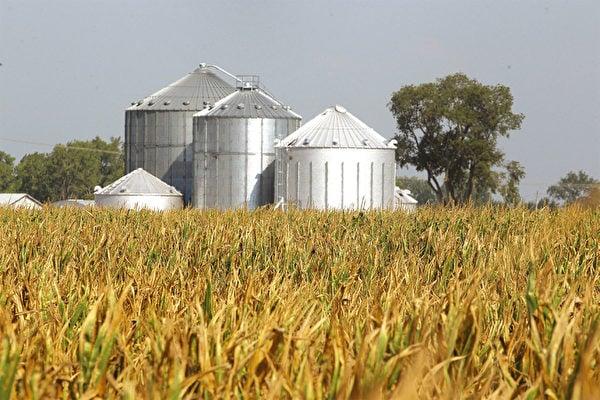 美國特朗普政府料快速出台補貼農民的政策,包括考慮用羅斯福新政時期設立的商品信用公司,幫助在貿易戰中受損的美國農民。圖為美國中西部印第安納州的玉米田。(Getty Images)
