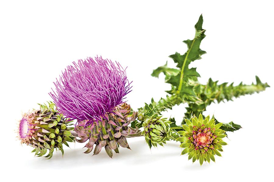 蘇格蘭國花──荊棘密布的薊花