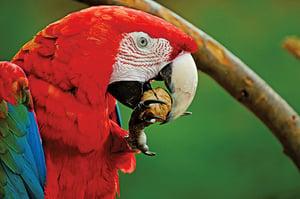 大腦結構獨特 鸚鵡比其它鳥類聰明