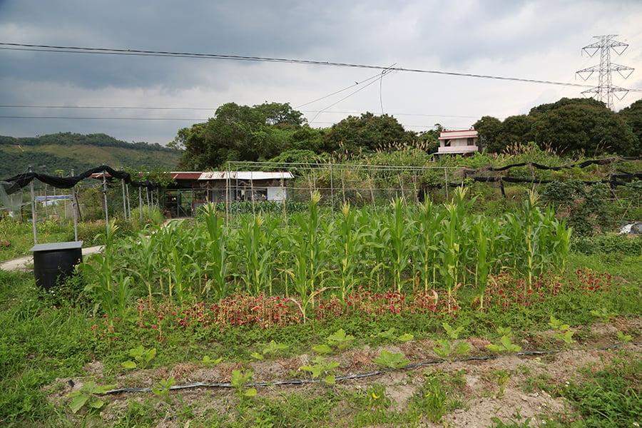 新興農場亦種植各類蔬果。(陳仲明/大紀元)