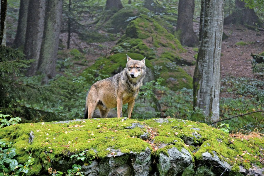 切爾諾貝利核事故地區 野狼遠足散播變異?