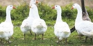 鵝的中醫食療作用
