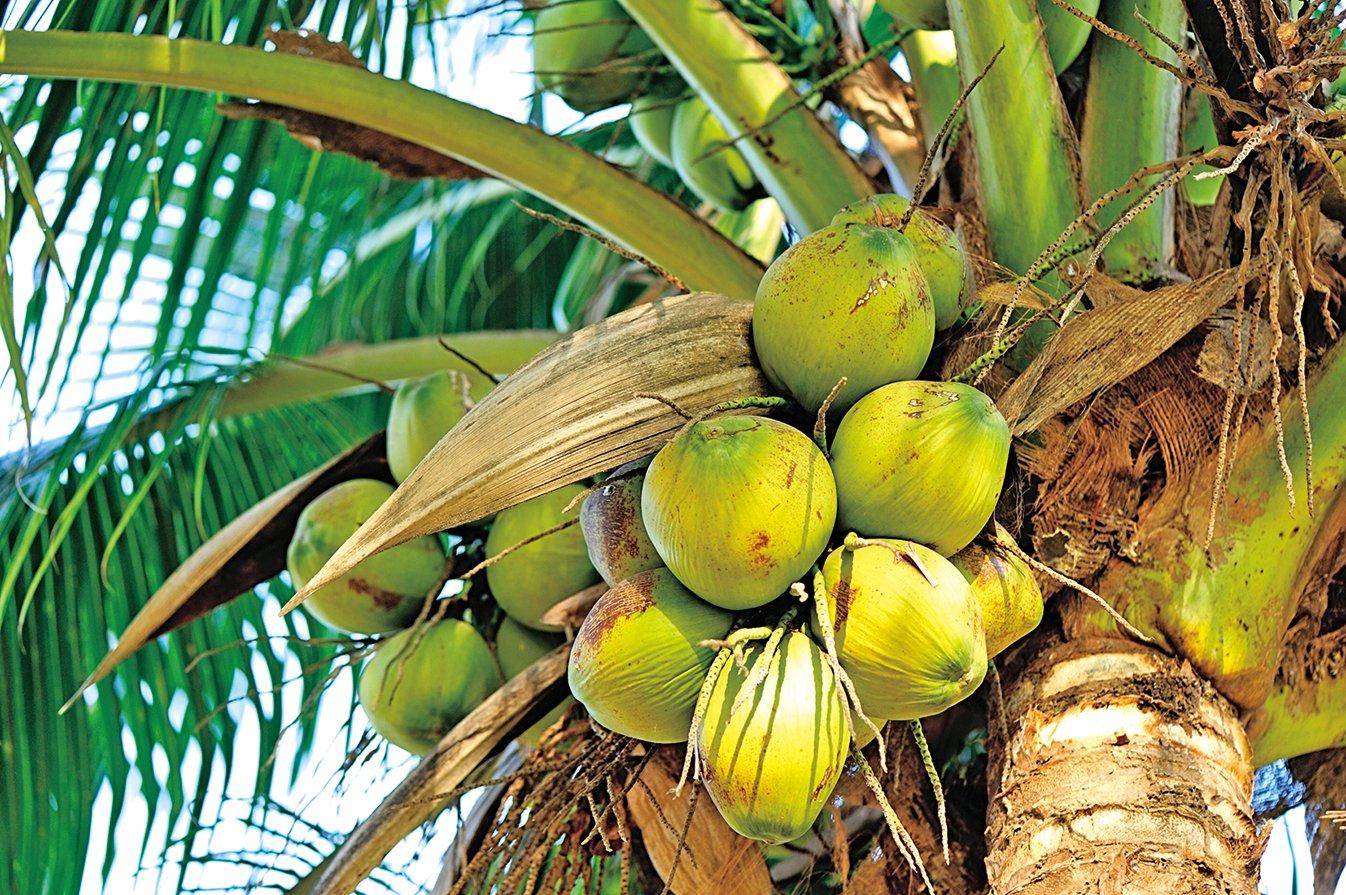 椰子樹生命力旺盛,在亞熱帶國家被喻為「生命之樹」。