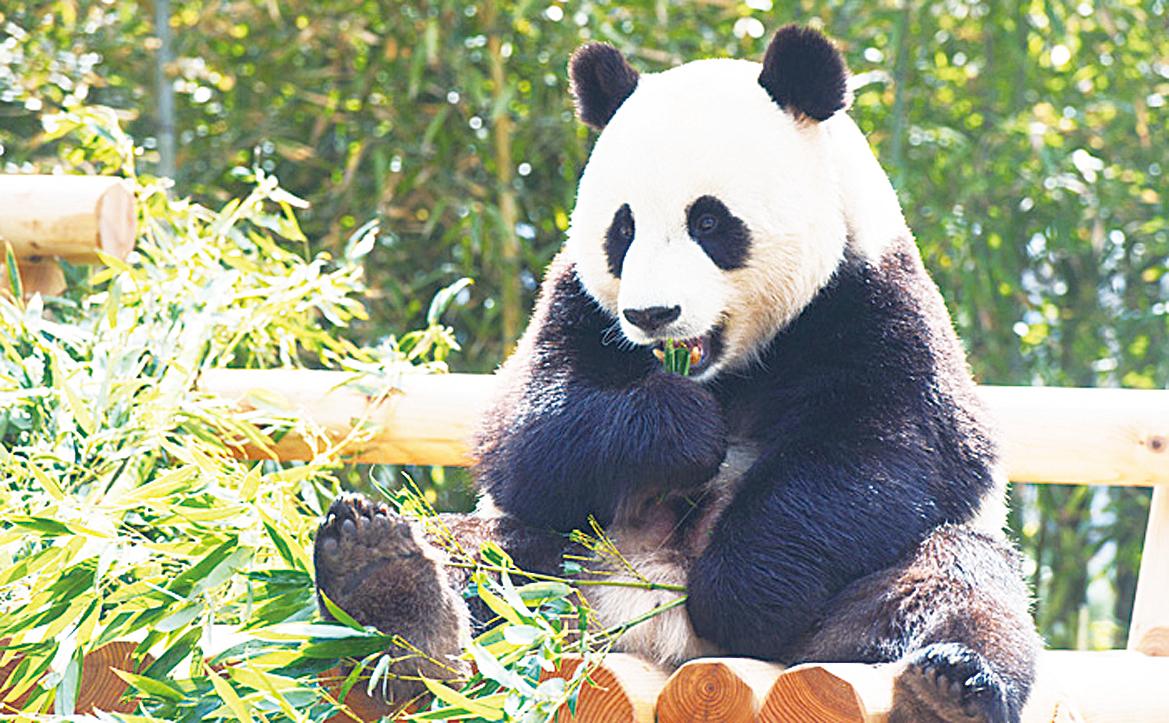正在吃竹子的「樂寶」。